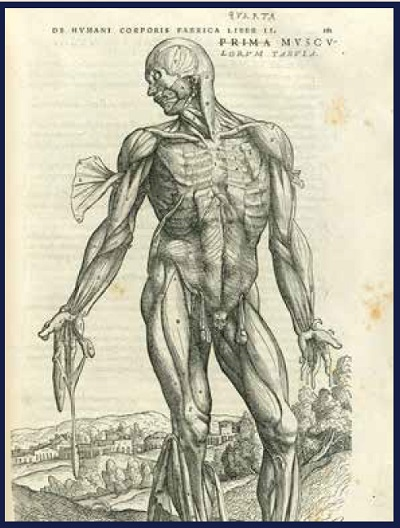 Muscle man, c.54.k.12, pg.181, Fabrica