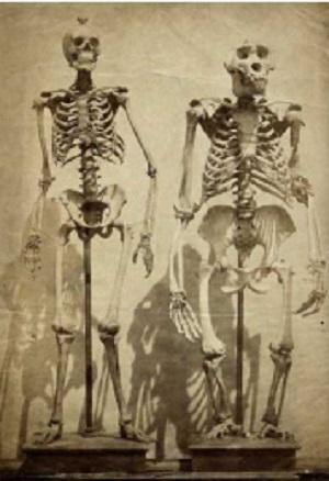 ヒトとゴリラの骨格標本